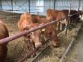 Обява Продавам женски телета и един бик порода Лимузин