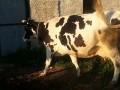 Обява Продавам 2 крави и 1 юница