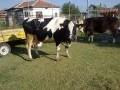 Обява продавам крави бременни и оттелени.