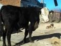 Обява Продавам бик за разплод