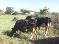 Обява продавам 8 крави