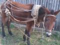 Обява Продавам муле