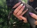 Обява мъжки и женски мопс errier кученца за свободно приемане
