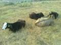 Обява Продавам телета от 150 до 350 кг. 2.50 лв.