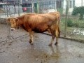 Обява prodavam dve kravi i tri ionici