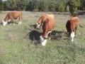 Обява Продавам крави и телета Херефорд
