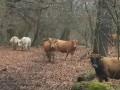 Обява 2 червено-кафяви крави