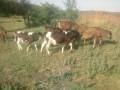 Обява продавам телета