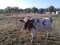 Обява Продавам две крави и три йонички