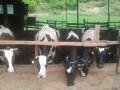 Обява Продавам стадо млечни крави (12 бр.)