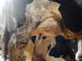 Обява продавам 4ерно6арени шути крави много мле4ни