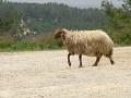 Обява Продавам 400 бр. овце и агнета