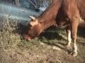 Обява Две стелни Крави на по 7 месеца за трето теле