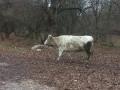 Обява 2 бяло-сиви крави