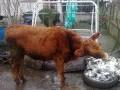 Обява Продавам 3 крави, 3 телета и 3 юници