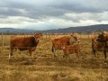 Обява Продава крави Жарсе, заменя за каракачански овце
