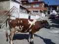 Обява Prodavam bremenna krava