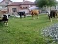 Обява продавам крави СПЕШНО