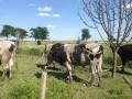 Обява Продавам угоени телета