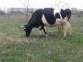 Обява Продавам две млечни крави, кв. Беломорски, гр. Пловдив