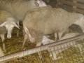 Обява Продавам източнофризийски мъжки агнета за разплод-ВНОС