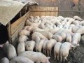 Обява Продавам прасенца