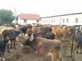 Обява Prodavam kravi i teleta