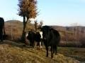 Обява prodavam kravi