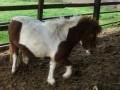 Обява кобила и пони