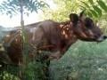 Обява Крава и теле Жерсей