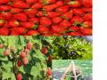 Обява Предлагам разсад - ягоди, малини и боровинки