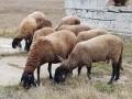Обява Овце аваси и Плевенска черноглава