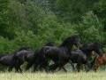 Обява Шарена порода коне (Mare и Жребец) за нов дом.