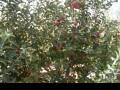 Обява Продавам ябълкова градина 30000квм