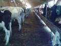 Обява Продавам 29 млекодайни крави