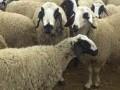 Обява Продавам маришки овце