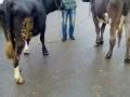 Обява prodavam dve bremenni kravi..