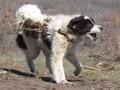 Обява Продавам българско овчарско куче елитна женска