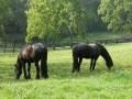 Обява Фризийски кон, красива кобила за осиновяване e.