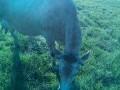 Обява Продавам крава