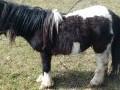 Обява мъжко пони на 4 години
