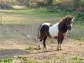 Обява Продавам мъжко пони внос от Шотландия
