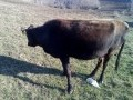 Обява Продавам 17 млади юници и 1 един бик