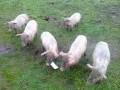 Обява Продавам малки прасенца