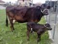 Обява продавам 2 крави