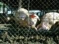 Обява Продавам бели прасета 80-90 кг.