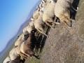 Обява Овце с агнета