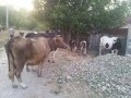 Обява Продавам 5 броя стелни крави. 3 черношар