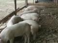 Обява продавам прасета