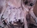 Обява Продавам кученца голдън ретривър